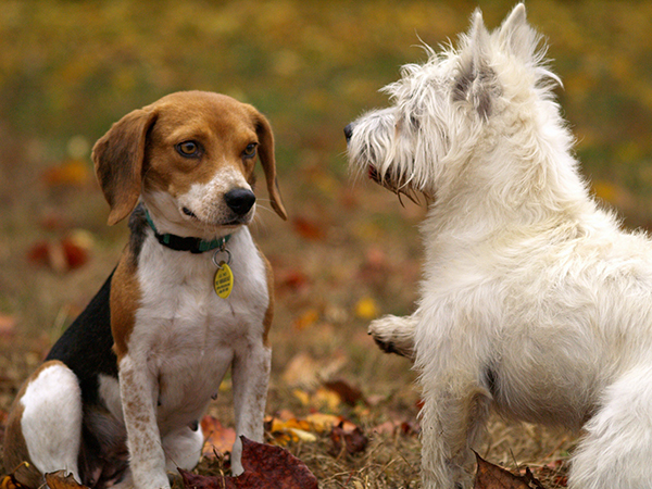 Beagle and terrier dogs